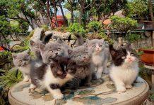 Mua bán mèo Anh lông ngắn màu xám, bicolor 2 tháng tuổi năm 2020
