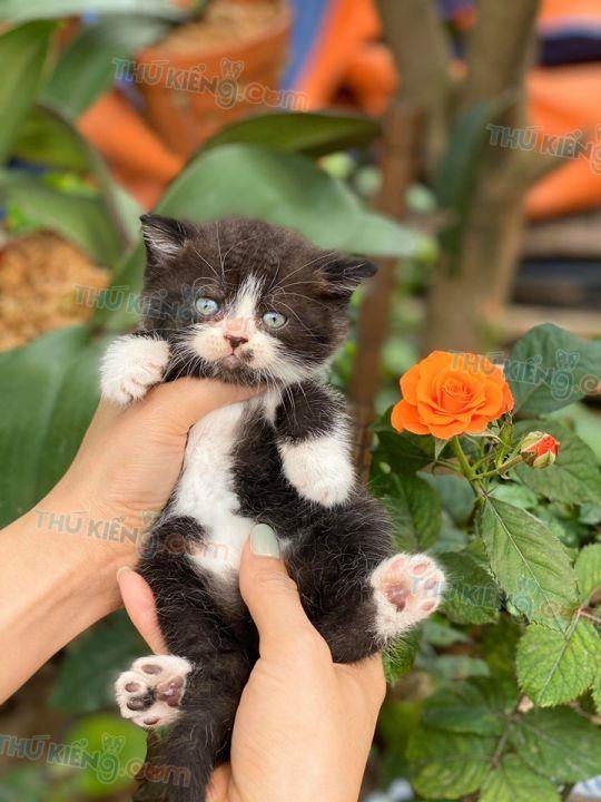 Mua bán mèo Scottish con 2 tháng tuổi năm 2020. BH 1 đổi 1 180 Ngày