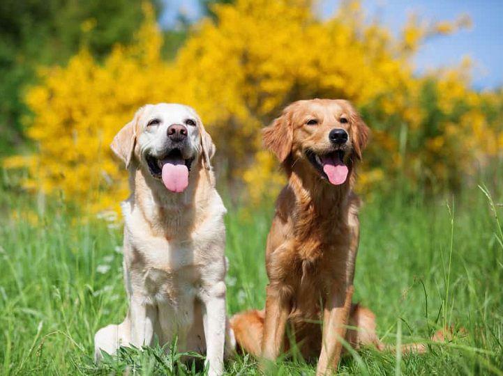 Chó Labrador vs Golden khác nhau thế nào? Nên nuôi Lab hay Golden?