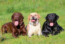 Cách Nuôi Chó Labrador. Chó Labrador Có Khó Nuôi Không?