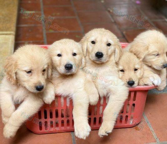 Bán chó Golden con 2 tháng tuổi màu vàng tháng 6/2020. BH 180 Ngày