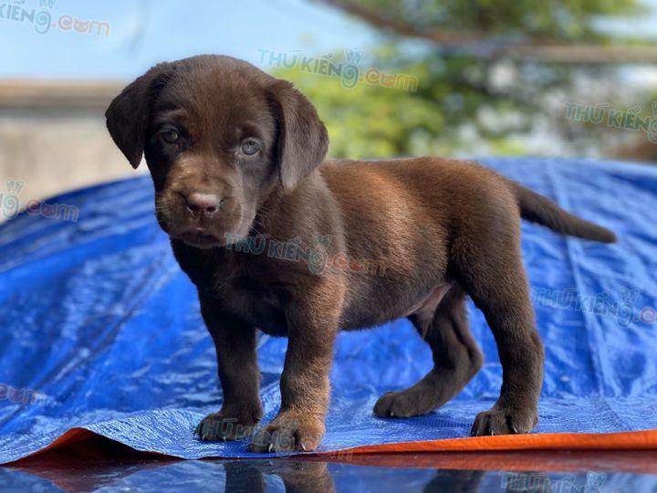 Mua bán chó Labrador vàng kim và socola năm 2020. BH tới 180 Ngày