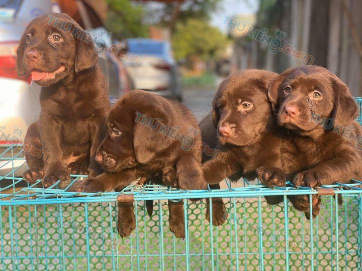 Mua bán chó Labrador chocolate và lab vàng kim nhỏ 2 tháng tuổi