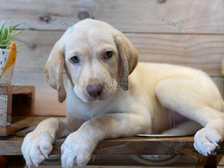 Bán chó Labrador màu vàng kim 2 tháng tuổi năm 2020. BH 180 Ngày