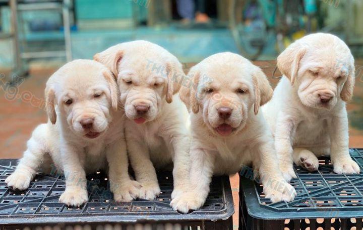 Bán chó Labrador Bạch Kim con 2 tháng tuổi tháng 6/2020. BH 6 Tháng