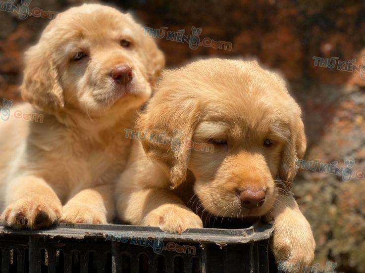 Mua chó Golden năm 2020. Bán chó Golden con 2 tháng tuổi năm 2020