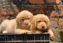 Bán chó Labrador, Golden nhập Thái. Ai nên mua Lab, Golden nhập Thái?