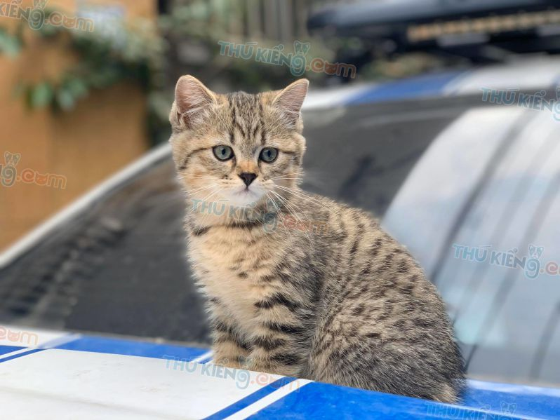 Mua bán mèo Aln silver và golden tabby con 2 tháng tuổi năm 2020