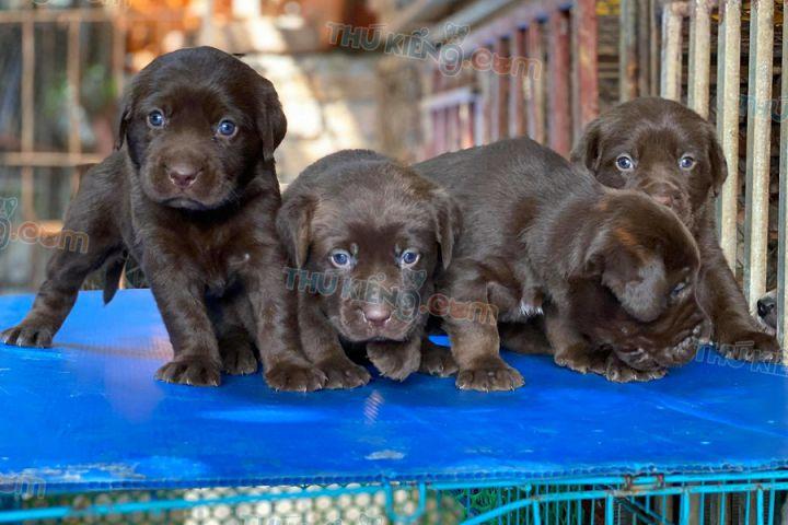 Mua bán chó Labrador chocolate con 2 tháng tuổi 2020. BH tới 180 Ngày