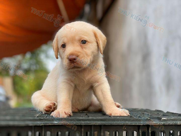Bán chó Labrador con 2 tháng tuổi màu vàng kim và socola năm 2020