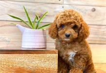 Bán chó Poodle tiny màu nâu đỏ con 2 tháng tuổi 2020. BH 180 Ngày