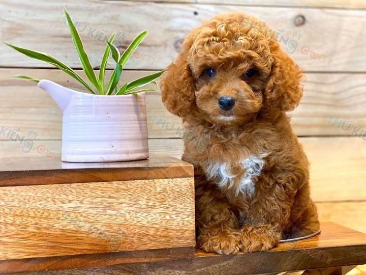 Bán chó Poodle Tiny, Poodle Toy. Mua chó Poodle con 2 tháng tuổi
