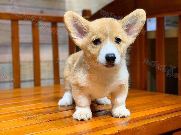 Bán chó Corgi Chân Ngắn Con 2 tháng tuổi năm 2020. BH tới 180 Ngày