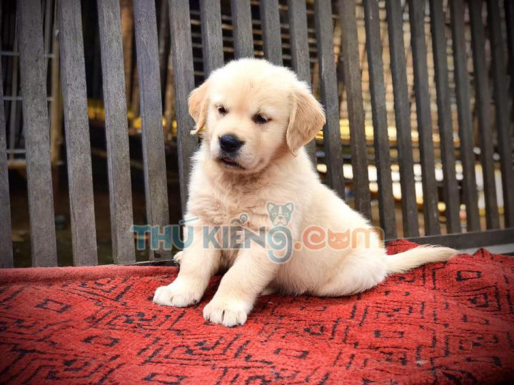 Mua bán chó Golden con 2 tháng tuổi tháng 6/2020. BH 180 NGÀY