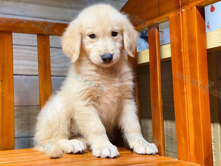 Bán chó Golden Vàng 2 tháng tuổi - tháng 6/2020. Bào Hành 6 Tháng