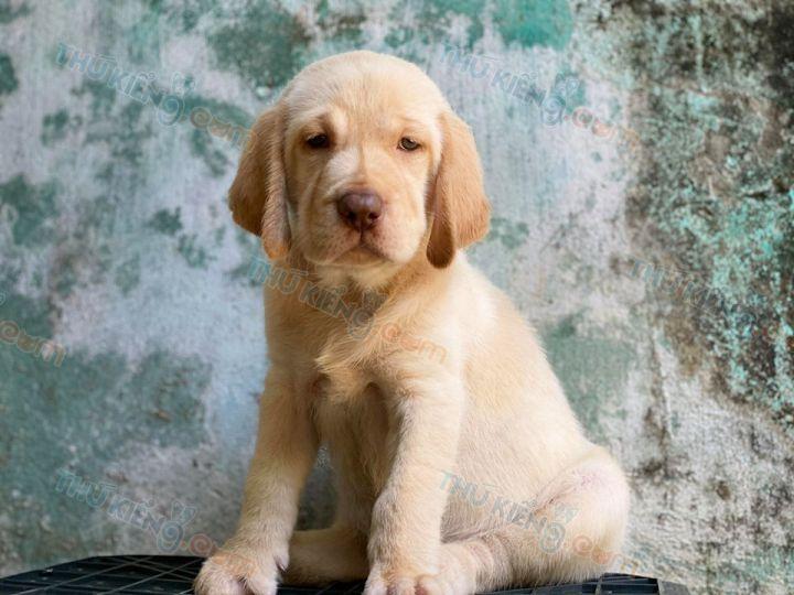Cần bán chó Labrador vàng kim 2 tháng tuổi. BH tới 180 Ngày