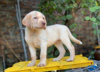Bán chó Labrador thuần chủng 2 tháng tuổi tháng 6/2020