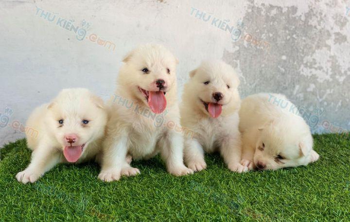 Mua bán chó Samoyed trắng tuyết con 2 tháng tuổi 2020. BH 180 Ngày