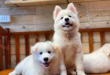 Bán chó Lab, Golden, Samoyed, Beagle cái nuôi sinh sản