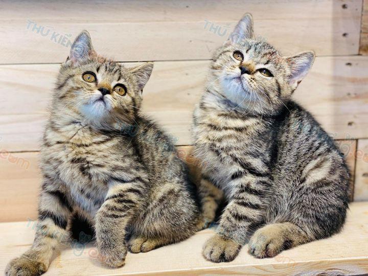 Mua bán mèo Anh Lông Ngắn - ALN màu Golden Tabby con 2 tháng tuổi