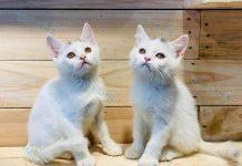 Bán mèo Anh Lông Ngắn - ALN màu trắng 2 tháng tuổi. BH 180 ngày