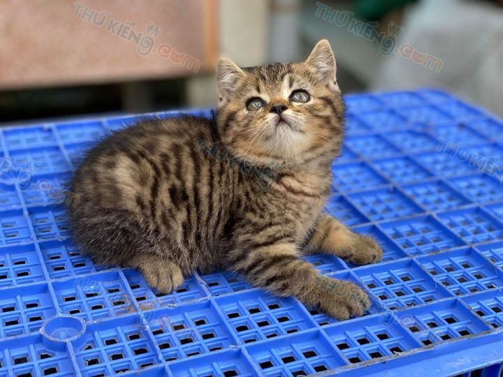 Mua bán mèo Anh lông ngắn Silver, Golden Tabby con 2 tháng tuổi 2020