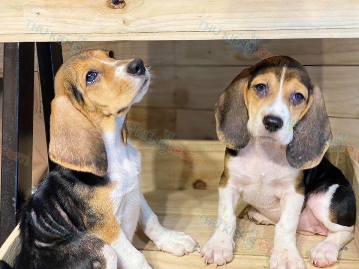 Bán chó Beagle con 2 tháng tuổi năm 2020. Bảo Hành tới 6 THÁNG