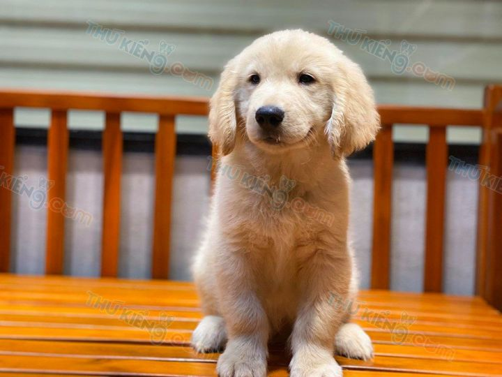 Giá chó Golden cái màu vàng 2 tháng tuổi. Bán chó Golden cái