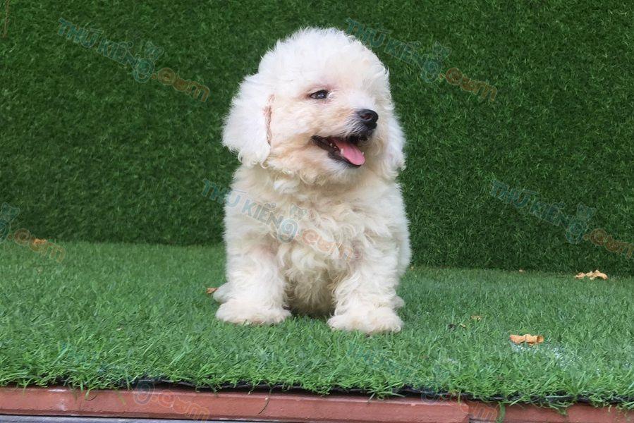 Bán chó Poodle tiny màu trắng con 2 tháng tuổi. BH 180 Ngày