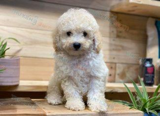 Bán chó Poodle màu trắng kem 2 tháng tuổi. Bảo Hành 6 tháng