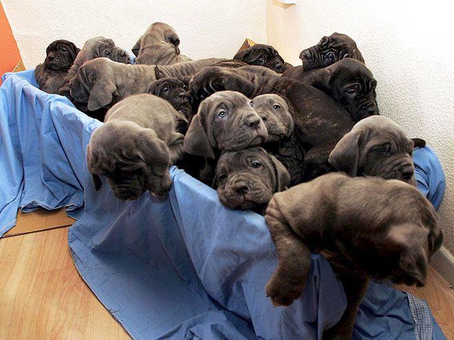 Chó thường đẻ mấy con mỗi lứa? Chó đẻ bao nhiêu con là tốt?