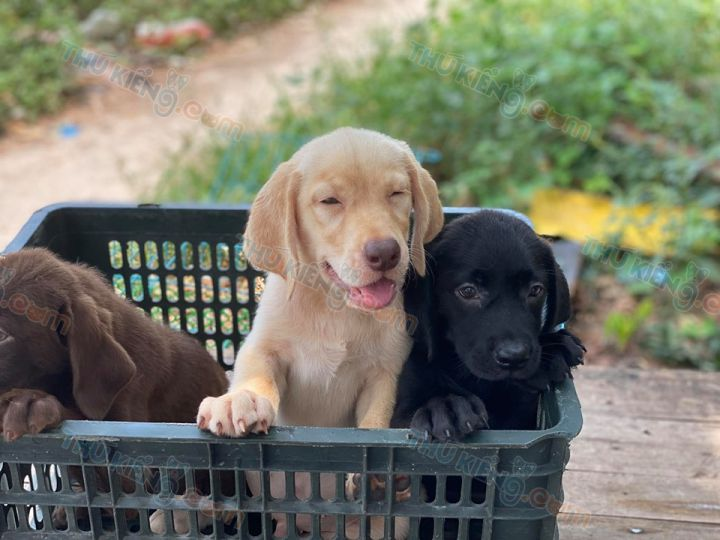 Bán chó Labrador 2 tháng tuổi màu Vàng Kim - Đen và Socola