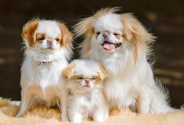 Phong trào nuôi chó nhật tại VN