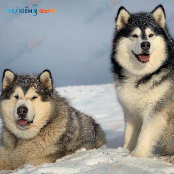 Cập nhật bảng giá chó Alaskan mới nhất 2021 – Thú kiểng.com