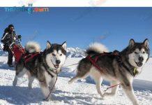 chó kéo xe tuyết Alaskan malamute