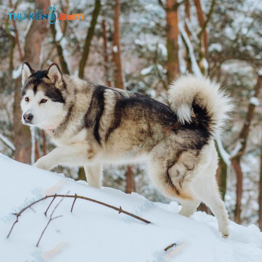chó Alaskan malamute nguồn internet