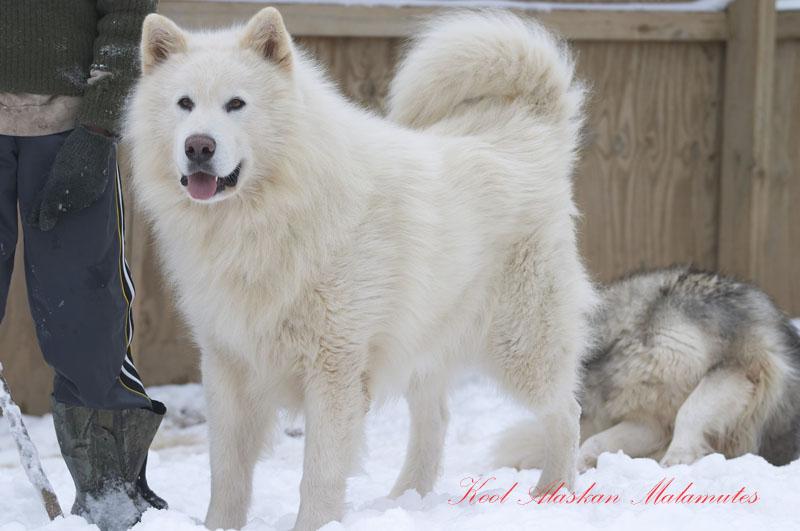 chó Alaskan trắng nguồn internet