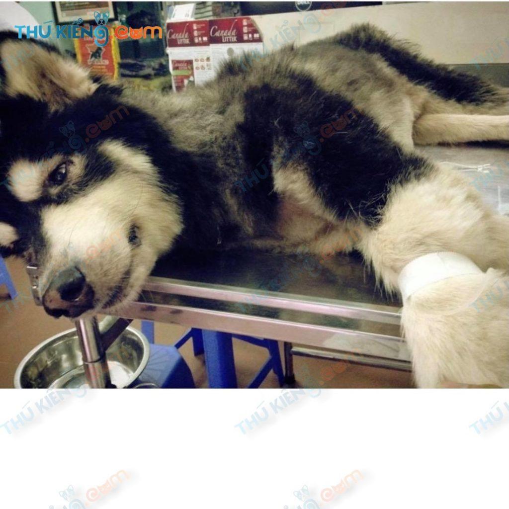 Alaskan Sói bị ốm