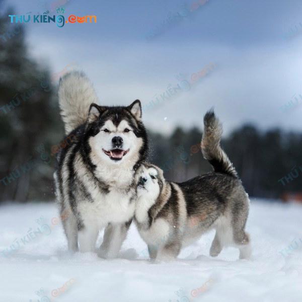 chó Alaskan malamute – Loài chó đứng đầu trong danh sách bị mua bán, chuyển nhượng tại VN