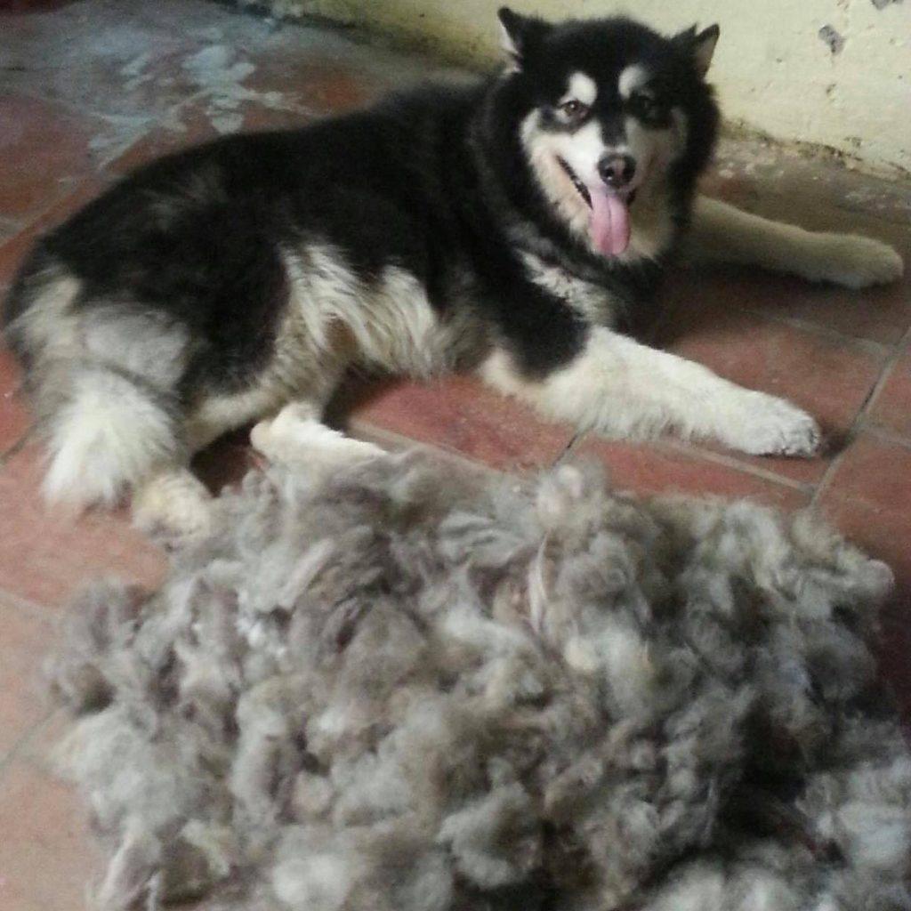 lông rụng là vấn đề thường ngày của Alaskan malamute mỗi mùa thay lông