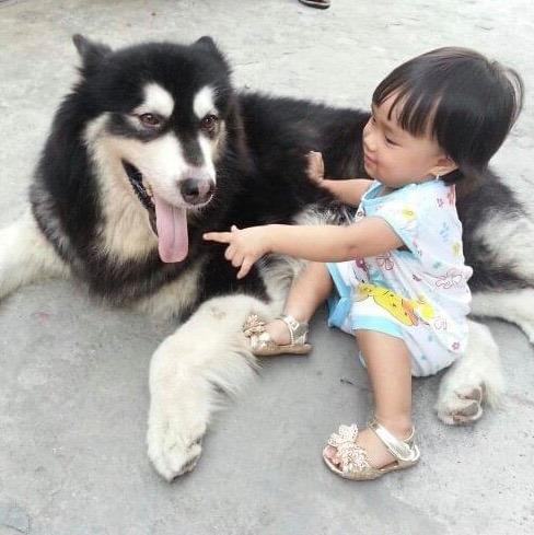 tẩy giun thường xuyên cho chó Alaskan vừa khỏe mạnh cho chó, vừa an toàn cho gia đình bạn
