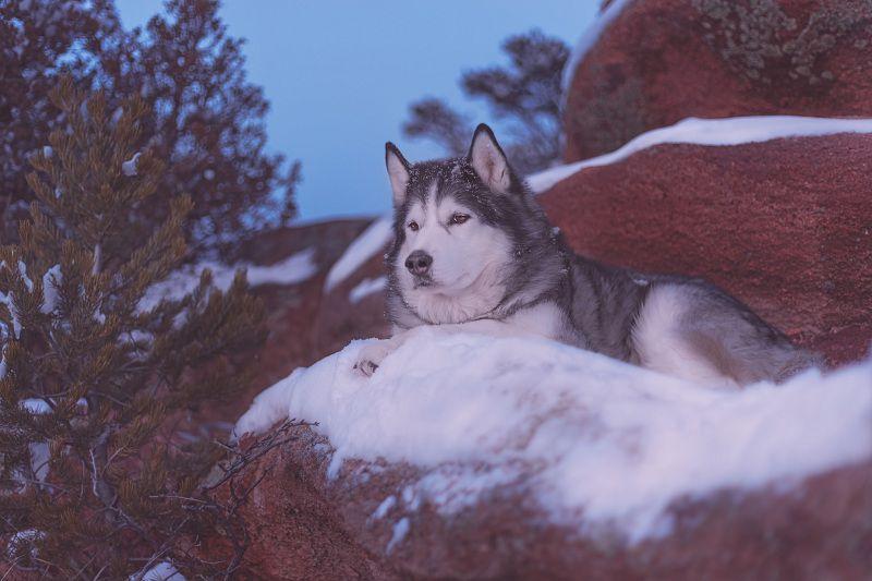 Alaskan thông minh và tuyệt với khi được ở trong môi trường đúng nghĩa của chúng