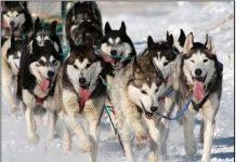 Vì sao chó Alaskan Malamute và Siberian Husky lọt vào tốp những giống chó nguy hiểm nhất thế giới? Chúng có đe dọa gia đình bạn?