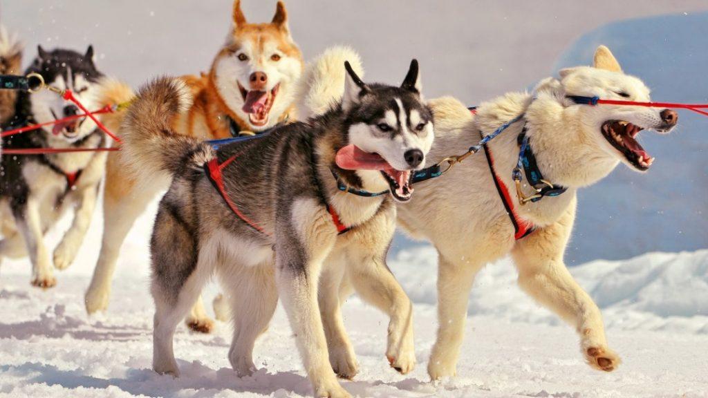 husky siberian những tài xế taxi tuyết rất thân thiện