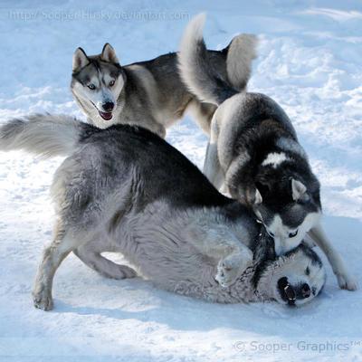 Alaskan và husky có tính phân đầu đàn rất cao