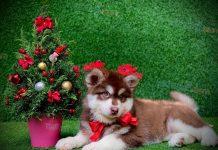 chó Alaskan thường gặp nhiều vấn đề liên quan đến đường ruột