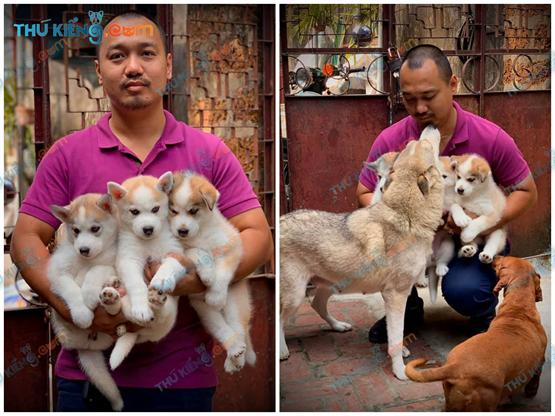 Bầy Siberian Husky nhà anh Cường – HN