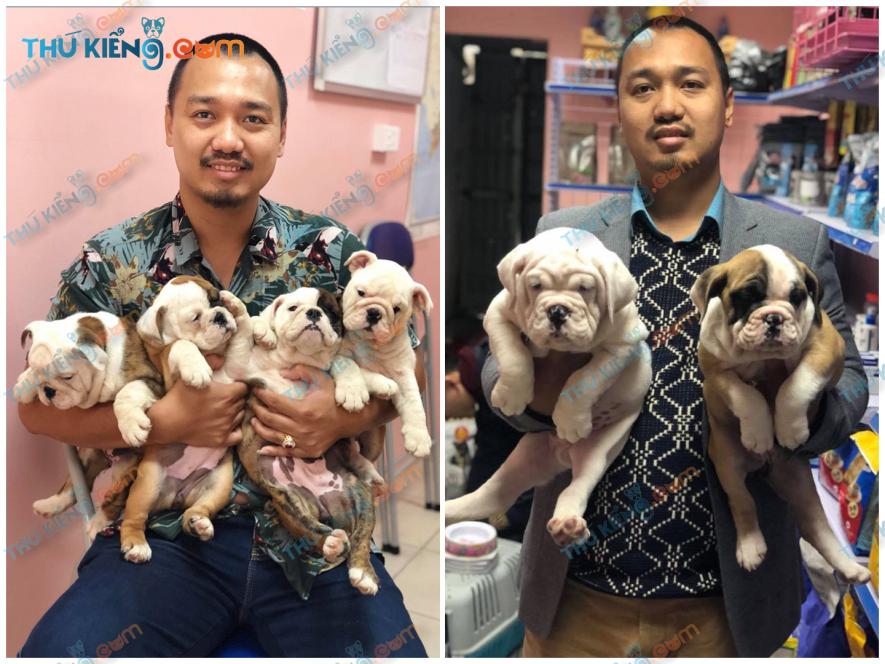 Bầy Bun Anh – English bulldogs thuộc dự án Trang trại trong dân – A.Huân –HN