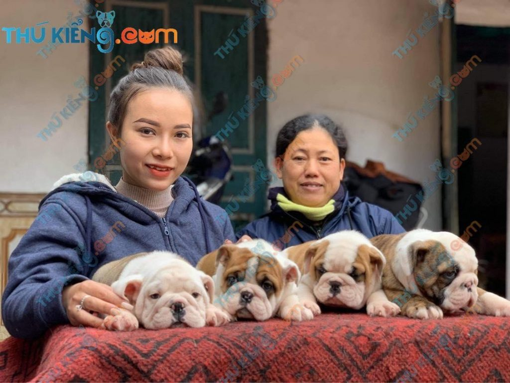 Bầy bulldogs nhà chị Hương – HN