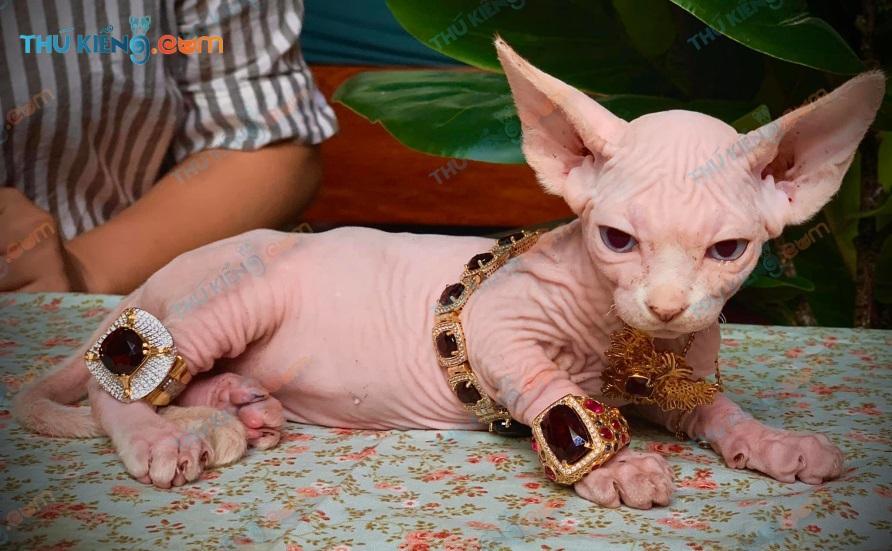 Bé mèo ai cập – Sphynx của Thú Kiểng bán ra lưu lại hình ảnh trước khi về với chủ mới